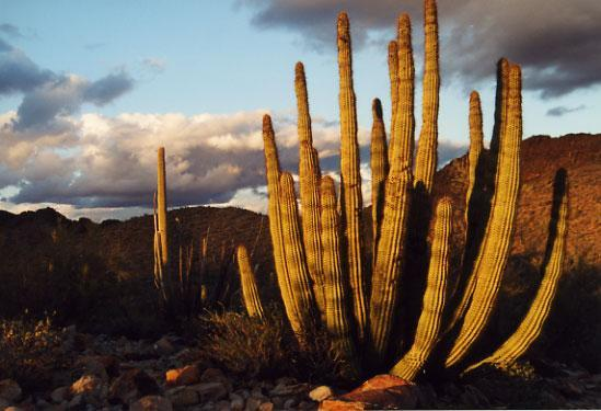 1370212-organ_pipe_cactus-organ_pipe_cactus_national_monument