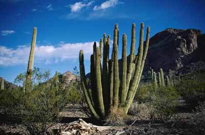 organ-pipe-cactus-national-monument1