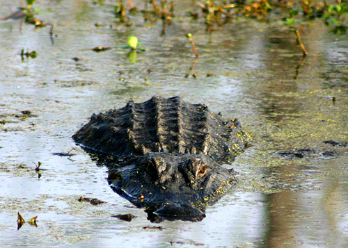 another-gator-in-santee-canal-park