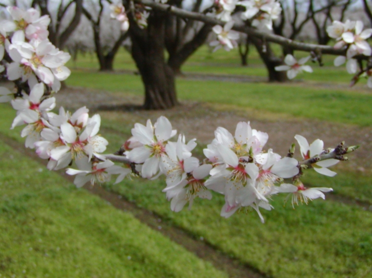 Almond_blossoms_branch