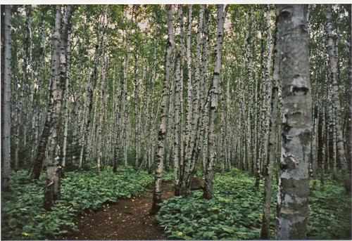birch forest, carlton peak trail