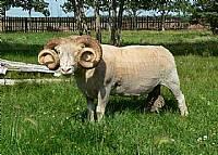horned dorset