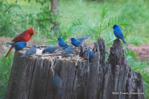 Male cardinal with a flock of indigo buntings on the stump feeder