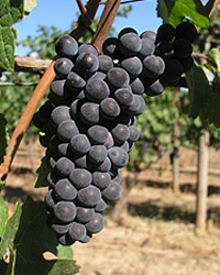 Chehalem_pinot_noir_grape    wiki s