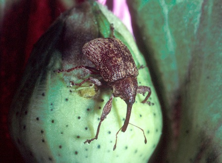 Cotton_boll_weevil