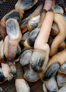 from noaa.gov, geoducks
