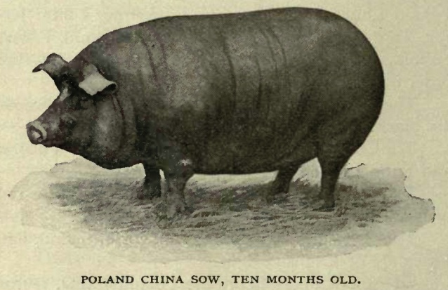 poland-china-pig
