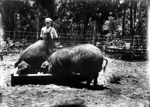 Poland_China_pigs_in_Florida 1917  wiki
