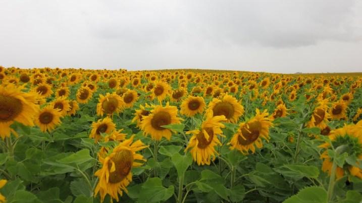pano sunflowers cory enger