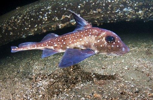 SpottedRatfish from the national aquarium aqua.org