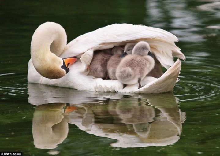animalia-life.com swan