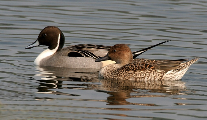 Northern_Pintails_(Male_&_Female)_wiki