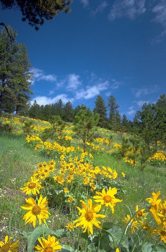 pano balsam flowers along Route 212, Custer National Forest by Jerry Blank - 4