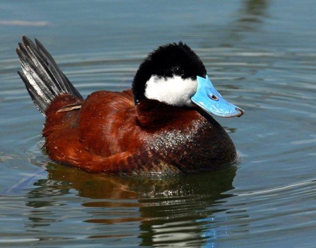 Ruddy Duck 02 - Paul Higgins