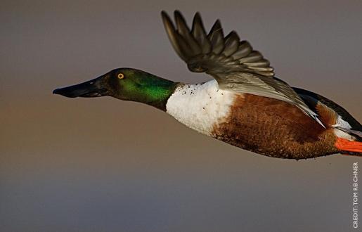 spoonbill duck ducks.org