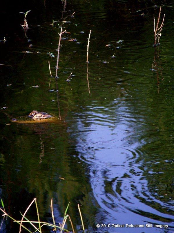 pano optical_delusions alligator