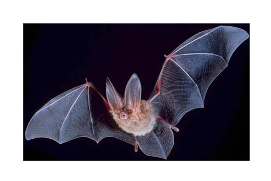 eNature bat