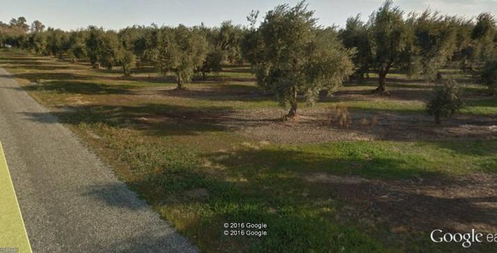ge olive trees