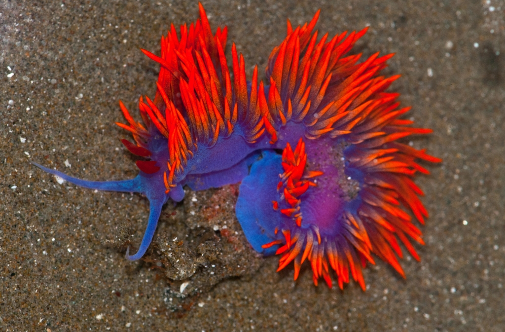 Spanish_Shawl_Nudibranch_(Flabellina_iodinea) wiki